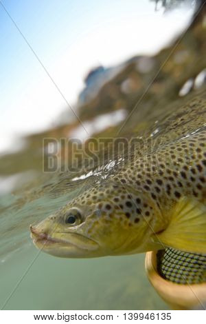 Closeup of brown trout being caught, underwater