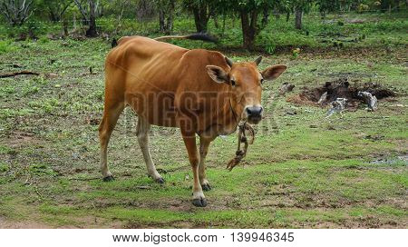 Brown young cow grazing on green meadow