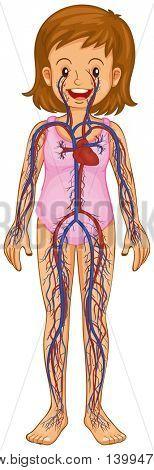 Little girl and blood vessels diagram illustration