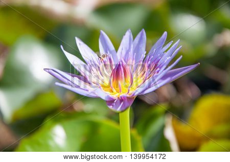 Purple Lotus. violet lotus with bee. flower lotus.