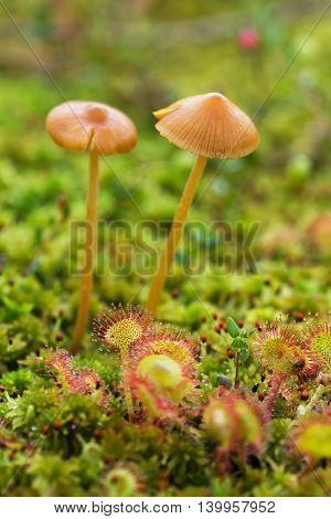 Mushroom And Sundew In The Swamp