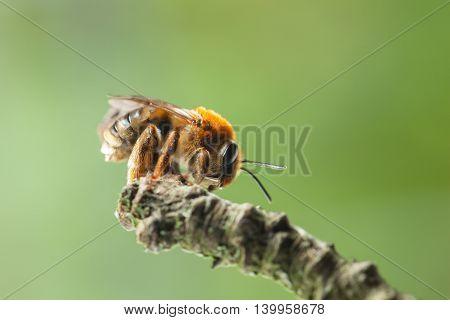 Bee On Twig