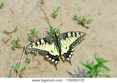 Swallowtail butterfly, Old World swallowtail. Butterfly sits on the ground.