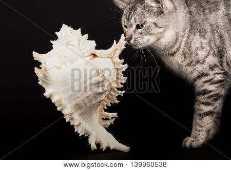 Cat smelling big shell, cat portrait, curious domestic cat isolated in dark background