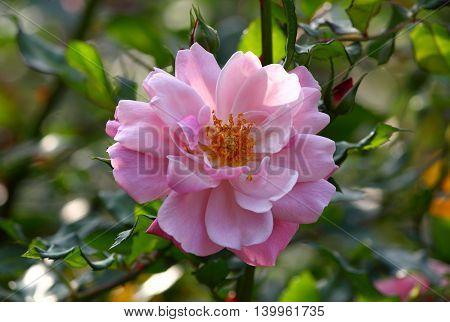 Closeup of a pink colored dahlia flower