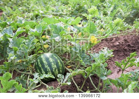 Watermelon plant with fruits and blossoms in a vegetable garden