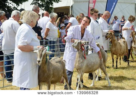 TENDRING SHOW ESSEX 11 JULY 2015: Goats being Exhibited at Agricultural show
