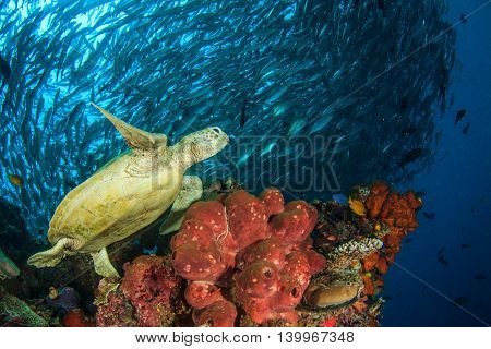 Sea Turtle and school of Bigeye Trevally (Jack) fish on coral reef, Sipadan