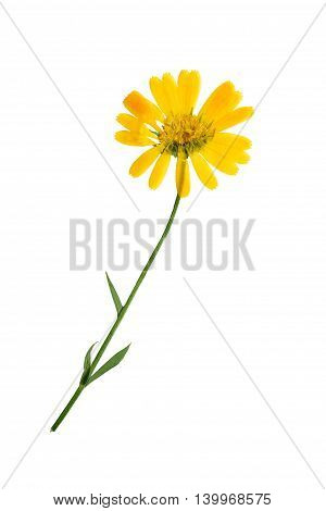 Pressed and dried delicate flowers of calendula officinalis (marigold). Isolated on white background. For use in scrapbooking floristry (oshibana) or herbarium.