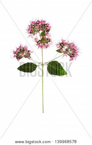 Pressed and dried flower oregano or marjoram on stem with green leaves. Isolated on white background. For use in scrapbooking floristry (oshibana) or herbarium.