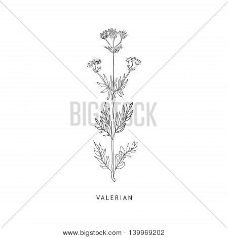 Valerian Medical Herb Hand Drawn Realistic Detailed Sketch In Beautiful Classic Herbarium Style On White Background