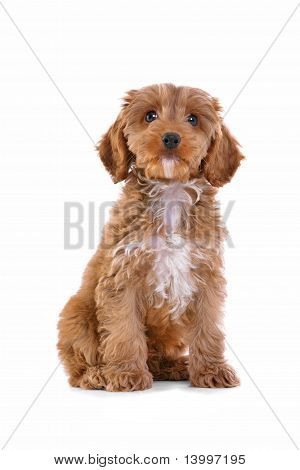 Puppy Cockapoo Isolated On White