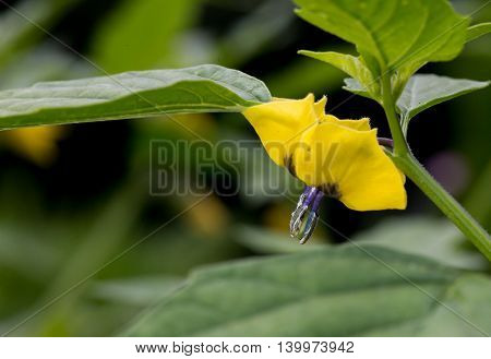 Tomatillo Young Plant On Dark Background