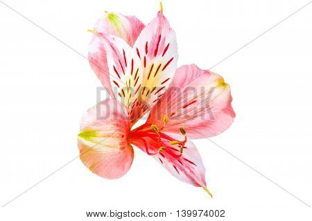 Isolated Garden Flower Alstroemeria On A White Background