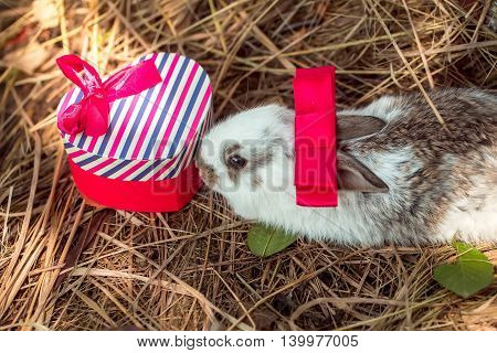 Cute Rabbit Sniffs Gift Box