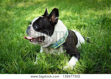 Cute bulldog on green grass in the park