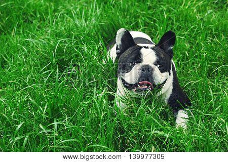 Cute bulldog on green grass in the park