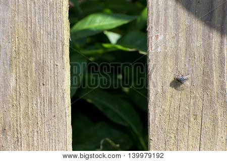 The old wooden fence. On the Board sits a black fly. Through the hole see the green leaves. The background is blurred.