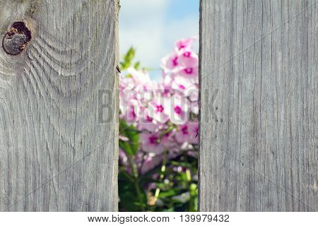 Pink flowers seen through a hole in the fence. The background is blurred. Foreground in focus.
