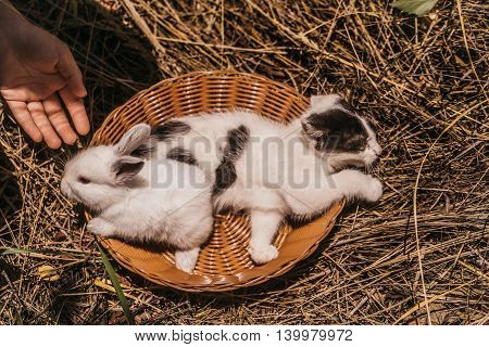 Little hare and kitten funny domestic animals with fluffy fur laying in wicker bowl near female hand on natural hay background