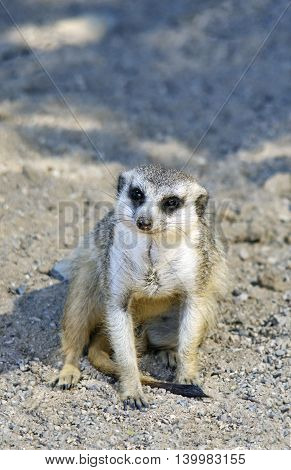Close up portrait of meerkat which is sitting in the sand