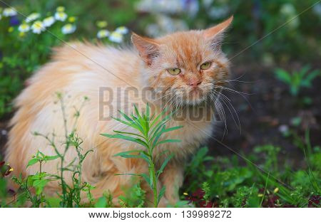 Ginger homeless cat sitting in the garden