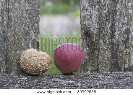 Ripe and rotten apple. They lie side by side on a wooden board old fence. Good apple red.