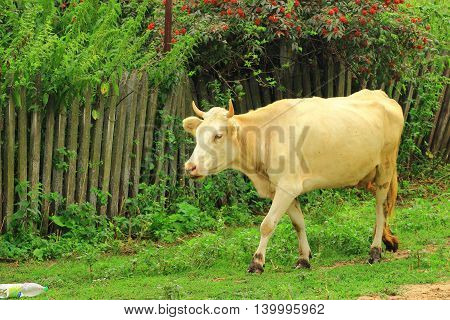 Cow light beige color comes home for the evening milking from the pasture where she spent the whole day grazing and fattened