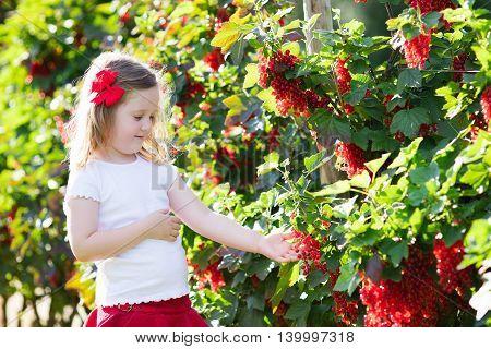 Little girl picking fresh ripe berry from red currant bush in sunny summer garden. Healthy nutrition for kids. Bio fruit for children.
