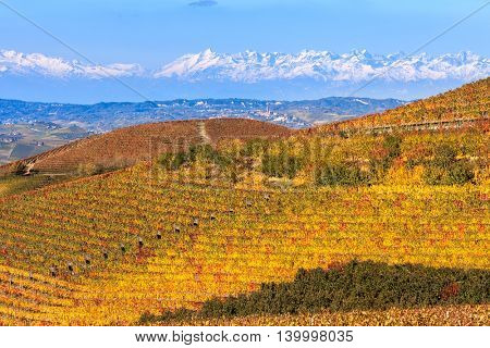 Colorful autumnal vineyards on hill as snowy mountain ridge on background in Piedmont, Northern Italy.