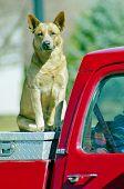 image of heeler  - A red heeler dog sitting on tool box in truck - JPG