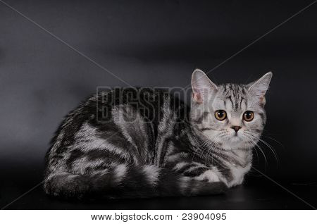 Scottish Stright Cat Portrait