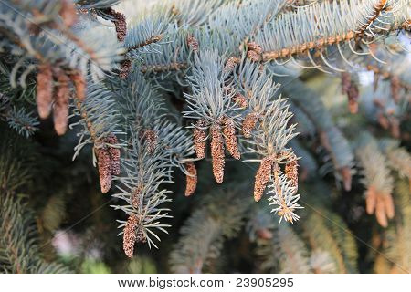 Vertical fir branches with very small cones