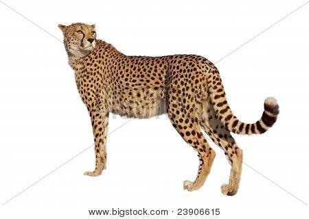 standing cheetah
