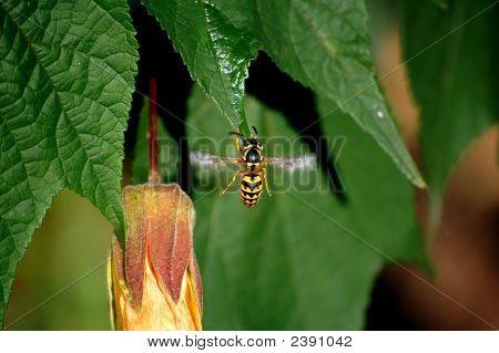 Close-Up Wasp