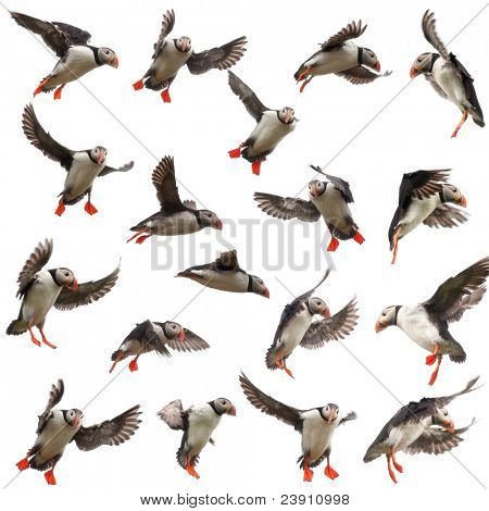 Collection of Atlantic Puffin or Common Puffin, Fratercula arctica, in flight in front of white background