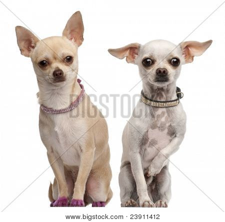 Two Chihuahuas, 2 years old and 11 months old, sitting in front of white background