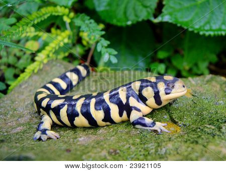 Barred Tiger Salamander, Ambystoma mavortium, a yellow and black salamander