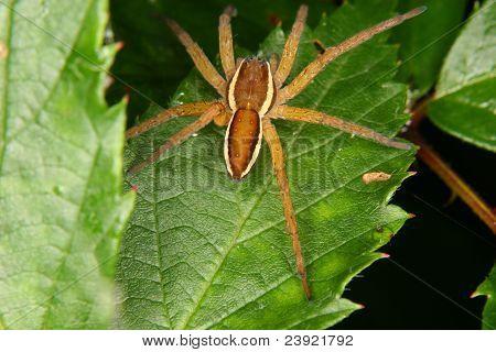 Raft Spider (Dolomedes fimbriatus)
