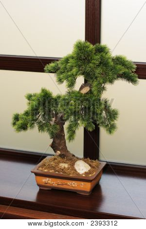 The Japanese Dwarfish Pine