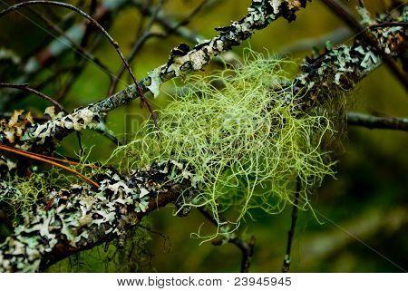 Flechte (Hypogymnia Physodes)
