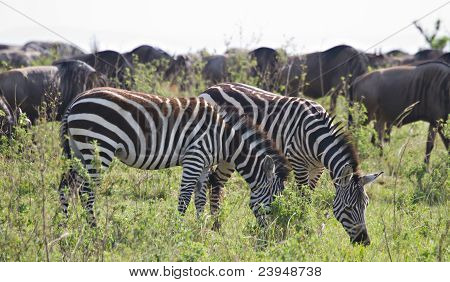 Zebras And Wildebeests In The Masai Mara