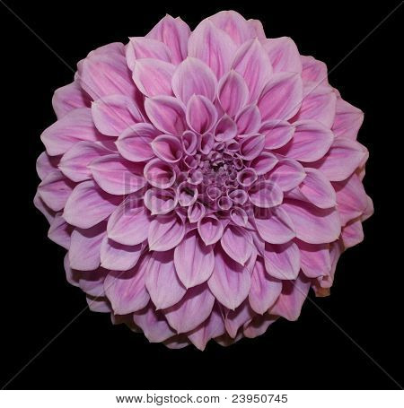 Dahlia pink black background