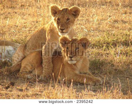 Lion Brüder...