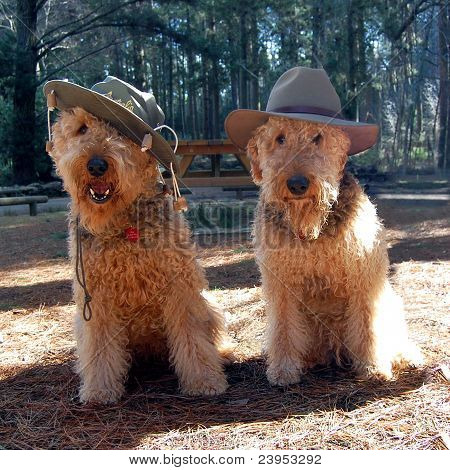 Comical Airedales!