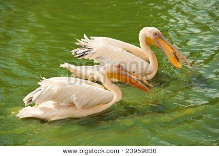 Zwei Rosa Pelikane waten in einem Teich. Einer von ihnen schlucken ein Fisch