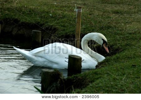 Swan Bird Swimming