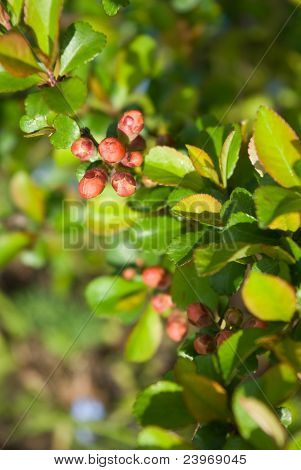 Japanese Quince (chaenomeles Japonica) Buds