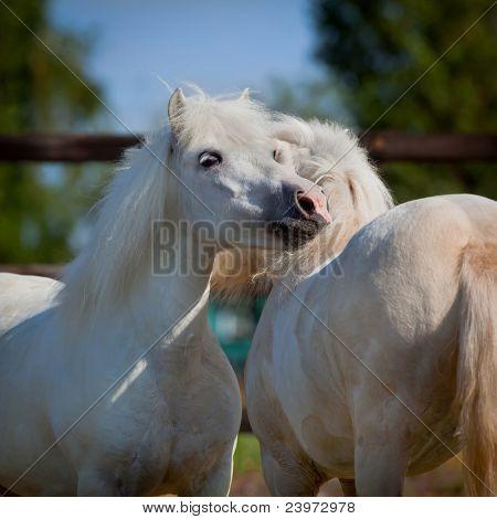Two gray Shetland ponies in field.