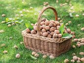 Walnut harvest. Walnuts in the basket on the green grass. poster